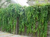 English Ivy, Common Ivy green Leafy Ornamentals