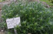 Garden Plants Mugwort dwarf leafy ornamentals, Artemisia photo green