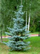 Colorado Blue Spruce light blue