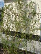 Garden Plants Willow, Salix photo green