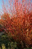 Garden Plants Willow, Salix photo burgundy