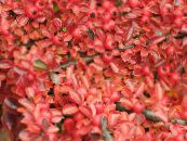 Cotoneaster horizontalis red