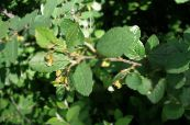 Garden Plants Hedge Cotoneaster, European Cotoneaster photo green