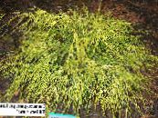 Garden Plants Sawara cypress, Sawara False Cypress, Boulevard Cypress, Blue Moss Cypress, Chamaecyparis pisifera photo yellow