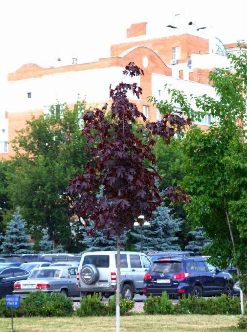 Le piante da giardino acero foto caratteristiche e la for Catalogo alberi da giardino
