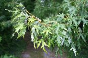 Garden Plants Maple, Acer photo silvery