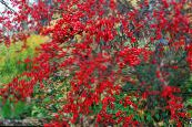 Holly, Black alder, American holly red