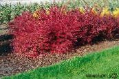 Barberry, Japanese Barberry red