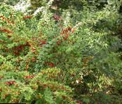Barberry, Japanese Barberry green