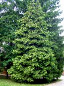 Thuja dark green