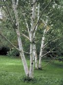 Garden Plants Birch, Betula photo green