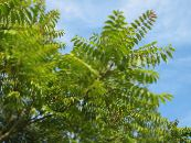 Tree of Heaven, Chinese Sumac, Stink Tree green