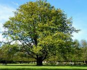 Common Beech, European Beech green
