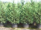 Leyland cypress light blue
