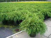 Siberian Carpet Cypress green