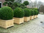 Garden Plants Boxwood, Buxus photo dark green