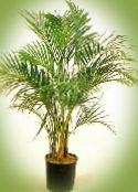 Curly Palm, Kentia Palm, Paradise Palm green Tree
