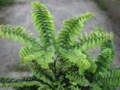 Maidenhair Fern green Herbaceous Plant