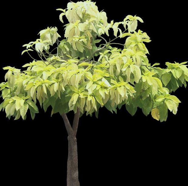 Topfpflanzen pisonia b ume foto hell gr n - Pfeffer zimmerpflanze ...