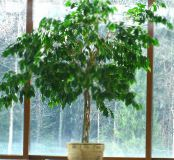 Pisonia green Tree