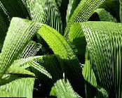 Curculigo, Palm Grass green Herbaceous Plant
