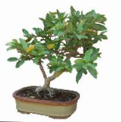 Guava, Tropical Guava green Tree