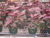Persian Shield claret Herbaceous Plant