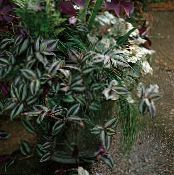 Wandering Jew motley Hanging Plant