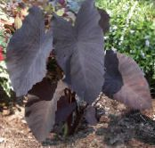 Elephants Ear claret Herbaceous Plant