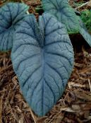 Elephants Ear silvery Herbaceous Plant