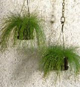 Fiber-optic grass green Herbaceous Plant
