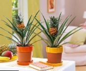 Pineapple green Herbaceous Plant