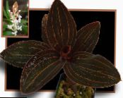 Jewel Orchid brown Herbaceous Plant