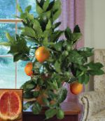 Sweet Orange green Tree