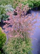 Cryptomeria red Tree