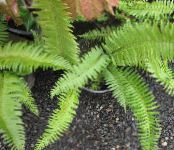 Sword Fern green Herbaceous Plant
