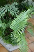 Polypody green Herbaceous Plant