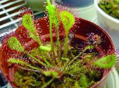Round-leaved sundew red Herbaceous Plant