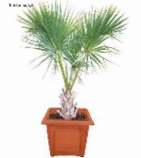 Sabal green Tree