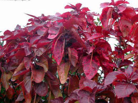 Indoor Plants Fire Dragon Acalypha Hoja De Cobre Copper Leaf Shrub