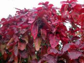 Fire Dragon Acalypha, Hoja de Cobre, Copper Leaf red Shrub