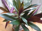 Rhoeo Tradescantia purple Herbaceous Plant