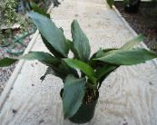 Aspidistra, Bar Room Plant, Cast Iron Plant green