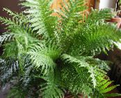 Hard Fern green Herbaceous Plant