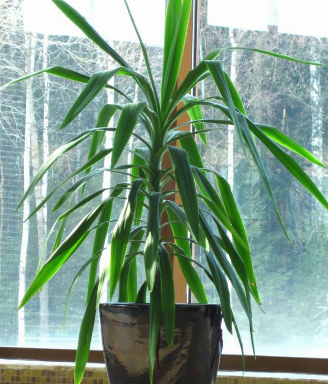 Topfpflanzen dracaena foto gr n - Pfeffer zimmerpflanze ...