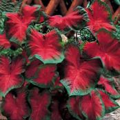 Caladium red Herbaceous Plant