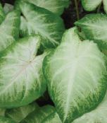 Caladium silvery Herbaceous Plant