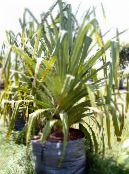 Screw Pine green Herbaceous Plant