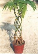 Guiana chestnut, Water Chestnut green Tree