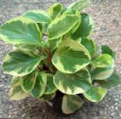 Radiator Plant, Watermelon Begonias, Baby Rubber Plant, Peperomia photo motley